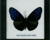 Real Butterfly Framed - Striped Blue Crow