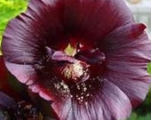 Old-fashioned Black Hollyhocks