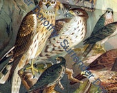 Hawks Birds Of Prey Victorian Chart 1887 Antique Chromolithograph Illustration From Germany To Frame
