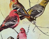 Grosbeak Finches Blackbirds Grackles Fuertes Birds Color Lithograph Illustration To Frame 1950s