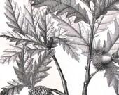 European Oak Tree Leaf Acorn Study 1887 Vintage Victorian Naturalist Engraving  Botanical Illustration