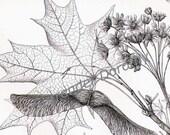 Maple Tree Varieties Vintage Botanical Engravings 1906 Original Antique Art From Germany For Framing