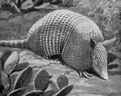 Banded Armadillo Louis Agassiz Fuertes 1950s Vintage Natural History Lithograph Illustration To Frame