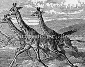 Hunters Chasing Giraffe In Africa 1892 Vintage Victorian Natural History Illustration To Frame