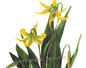 Yellow Glacier & Canada Lily Flowers Vintage 1955 Botanical Lithograph Art  Print To Frame 31