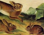Grey Rabbits Young and Old Audubon Wild Animal Lithograph Print To Frame