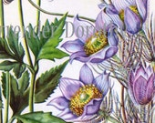 Pasque Flower Thimbleweed Vintage 1950s Botanical Lithograph Art  Print To Frame 56