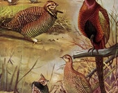 Pheasants Gamebirds Fuertes Vintage Wild Bird Chart Lithograph Print 1955 Color Illustration To Frame