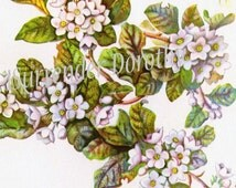 Trailing Arbutus Checkerberry Flowers Vintage 1950s Botanical Lithograph Cottage Garden Art  Print To Frame 129