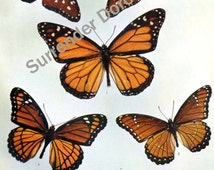 Anosia & Basilarchia Butterflies 1900 Edwardian Era Butterfly Chart Natural History Rotogravure Illustration VII