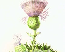 Bull Thistle Flower Scotland Botanical Art  Print Vintage 1950s Wildflowers Lithograph To Frame 229