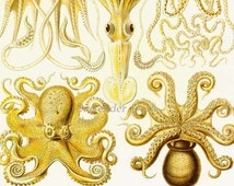 Octopus & Squid Haeckel Print Natural History Oceanography Victorian Scientific Lithograph To Frame