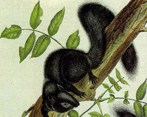 Black Squirrel Audubon Vintage Wild Animal Lithograph Natural History Print To Frame
