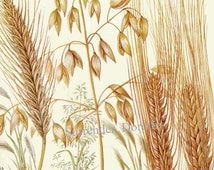 Rye Oat & Barley Cereal Grain Food Chart Botanical Lithograph Illustration For Your Vintage Kitchen 5