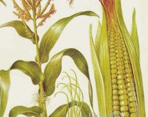 Corn Maize Cereal Grain Food Chart Botanical Lithograph Illustration For Your Vintage Kitchen 7