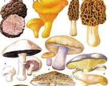 Edible Mushrooms Wild Vegetable Food Chart Botanical Lithograph Illustration For Your Vintage Kitchen 189