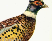 Ringed Pheasant Phasianus Torquatus Bird Ornithology Natural History Lithograph Print 1960s Illustration To Frame 30