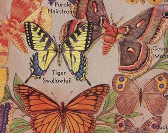 Butterflies & Moths Vintage Entomology Natural History Lithograph Illustration To Frame 1948