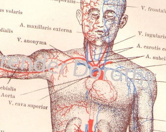 Human Anatomy Heart Circulatory System Vintage  Edwardian Medical Chart Illustration 1903 Original