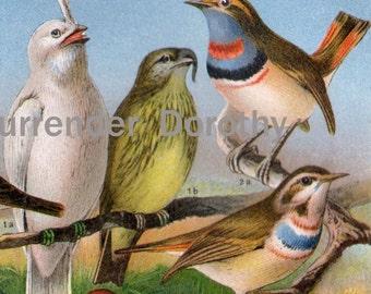 Exotic Birds Europe Vintage Ornithology Chromolithograph Illustration 1887 Germany Natural History To Frame
