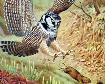 Hawk Owl and Mouse Walter Weber 1942 Natural History Illustration To Frame