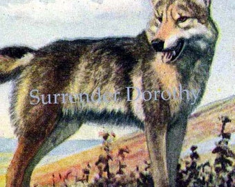 Timber Wolf & Coyote Louis Agassiz Fuertes 1950 Natural History Color Lithograph To Frame