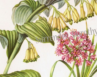 Smooth Solomon's Seal Flowers Botanical Print 1950s Vintage Wildflowers To Frame 11