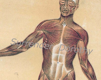Human  Anatomy Muscular System Vintage Medical Chart 1908  Original Lithograph To Frame