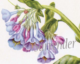 Virginia Cowslip Flower Botanical Lithograph Vintage 1950s Wildflower Art Print To Frame Mid Century 163