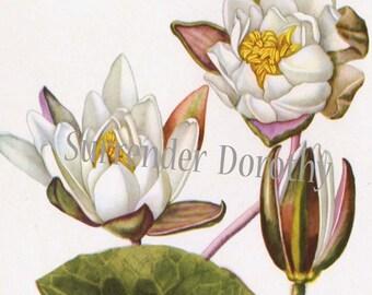 White Water Lily Lotus Vintage Aquatic Botanical Lithograph Print To Frame 52