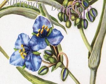 Dayflower & Spiderwort Vintage Botanical Lithograph Print Mid Century 1950s For Framing 8
