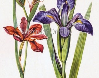 Red Iris Blue Flag Flower Botanical Art Print 1950s Vintage Country Cottage Wildflowers To Frame 31