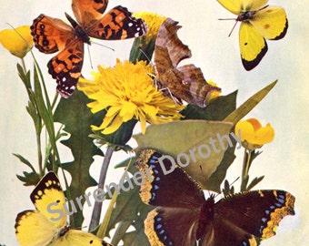 Butterfly Family 1900 Entomology Edwardian Natural History Antique Rotogravure Print Illustration To Frame I