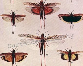 Short Horned Grasshoppers Locusts Chart Vintage 1907 Edwardian Entomology Natural History Rotogravure Illustration To Frame XXXIX