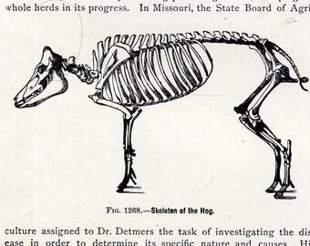 Hog Pig Skeleton Anatomy Vintage Chart 1915 Antique Natural History Illustrations For Framing