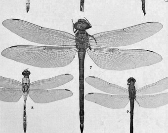Dragonfly Micrathyria Libellula Insect Chart 1907 Edwardian Entomology Natural History Rotogravure Illustration To Frame XLI