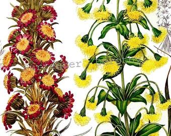 Compositae Flowers New Zealand Oceana Botanical Exotica 1969 Large Vintage Illustration To Frame 149