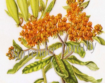 Butterfly Weed Flowers Botanical Art Vintage Lithograph Print To Frame 1950s 149
