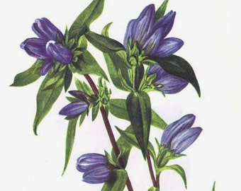 Bottle Gentian Soapwort Flowers Vintage 1955 Vintage Botanical Lithograph Cottage Garden Art  Print To Frame 299