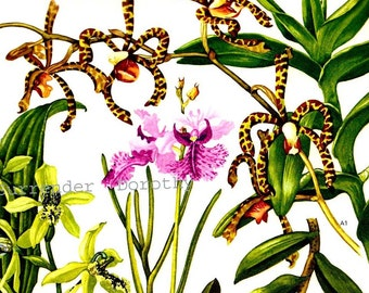 Scorpion, Dendrobium Orchid Kinta Wood Flowers Southeast Asia Botanical Exotica 1969 Large Vintage Illustration To Frame 127