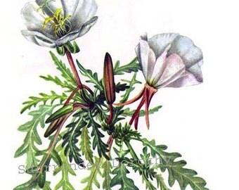 Rock Rose Evening Primrose Flowers Vintage 1955 Botanical Herbal Lithograph Art  Print To Frame 241