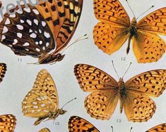 Argynnis Butterfly Natural History Edwardian Entomology Antique Rotogravure To Frame XIV