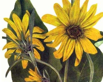 Wild Summer Sunflowers Vintage Flowers 1955 Botanical Lithograph Art  Print To Frame 370