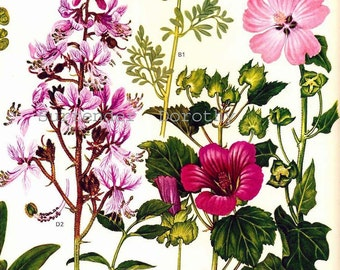 Rue Mallow & Euphorbia Flowers Mediterranean Botanical Exotica Large Vintage Illustration To Frame 35