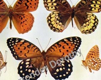 Argynnis Butterflies Vintage 1900 Edwardian Entomology Butterfly Chart Rotogravure Illustration X