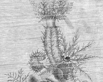 Beautiful Sea Cucumber Vintage 1887 Victorian Marine Biology Engraving To Frame