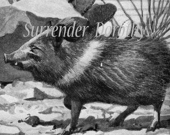 Wild Pig Collard Peccary  Louis Agassiz Fuertes Vintage 1950s Original Natural History Lithograph To Frame