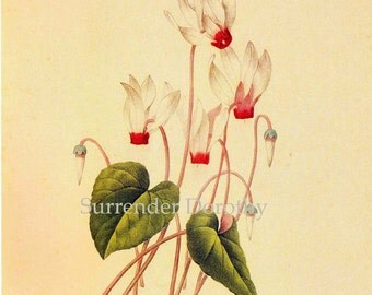 Cyclamen Persicum Flowers Redoute Vintage Botanical Poster Illustration Wildflower Lithograph Print To Frame 70