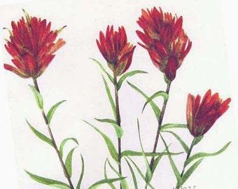 Indian Paintbrush Flowers Vintage 1955 Botanical Lithograph Cottage Garden Art  Print To Frame 346
