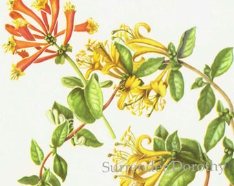 Coral & Japanese Honeysuckle Flowers Botanical Art Vintage Lithograph Print To Frame 192